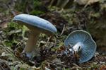 Blue-green Clitocybe (Clitocybe odora)